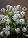 Bossen van witte bloemen - de lentesneeuwvlok stock afbeelding