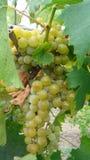 Bossen van witte druiven Royalty-vrije Stock Foto