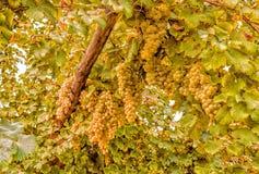 Bossen van witte druiven in een wijngaard stock fotografie