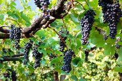 Bossen van zwarte druiven Stock Afbeelding