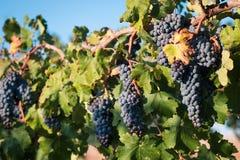 Bossen van zwarte druiven op wijnstokrij Stock Foto's