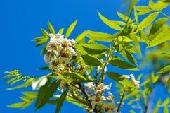 Bossom des fleurs blanches sur l'arbre photo libre de droits