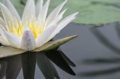 Bossom lotus Royalty Free Stock Photos