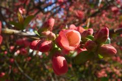 Bossom rojo, árbol, primavera, gemmate, brote fotografía de archivo libre de regalías