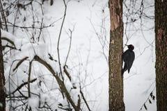 Bosspecht op een boom in een de winterbos royalty-vrije stock foto's