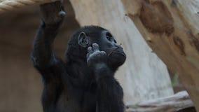 Bosstroomwaterval Leuke westelijke gorillababy Gorillagorilla Bedreigd dier stock footage