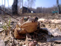 Bossy frog. Common european brown frog (rana temporaria) looking angry and confident stock images