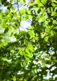 Bostakken met groene bladeren Royalty-vrije Stock Foto's
