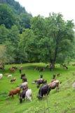 Bostaurus Flock av tjurar och kalvar som betar i äng med nytt gräs royaltyfri bild