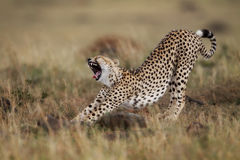 Bostezando y estirando el guepardo, Masai Mara Fotografía de archivo