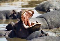 Bostezo del hipopótamo Imagenes de archivo
