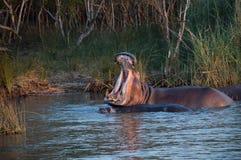 Bostezo del hipopótamo en Suráfrica St Lucia Foto de archivo libre de regalías