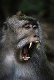 Bostezo del mono - Bali - Indonesia Fotos de archivo libres de regalías