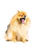 Bostezo del perro de Pomeranian aislado en el fondo blanco Fotografía de archivo