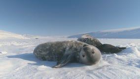 Bostezo del sello del weddell del bebé de la Antártida en luz del sol almacen de metraje de vídeo