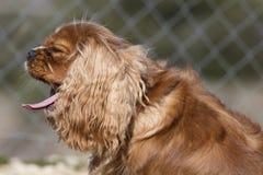 Bostezos arrogantes del perro del perro de aguas del rey fotos de archivo libres de regalías