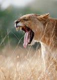 Bostezos de la leona Imagen de archivo