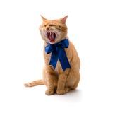 Bostezos del gato Fotos de archivo