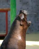 Bostezos del león de mar. Foto de archivo