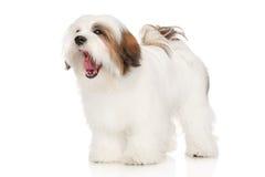 Bostezos del perro de Lhasa Apso Foto de archivo libre de regalías