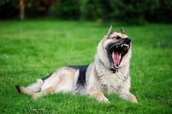 Bostezos del perro de pastor alemán Fotos de archivo