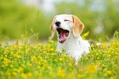 Bostezos del perro del beagle fotografía de archivo libre de regalías