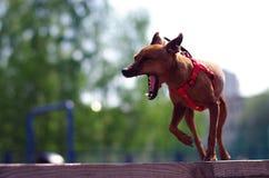 Bostezos del terrier de juguete de Brown Foto de archivo libre de regalías