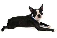 boston вниз кладя terrier Стоковая Фотография RF