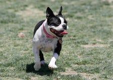 Boston blanco y negro Terrier en el parque imagen de archivo