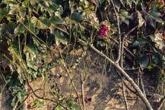 Boston bluszcz i czerwieni róża na grunge ścianie Zdjęcia Royalty Free