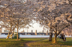 Boston Cherry Trees Blossoming in Spring Royalty Free Stock Photography