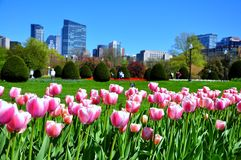 Boston city from tulips garden Royalty Free Stock Images