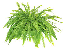 Boston Compacta Fern Isolated sur le blanc images stock