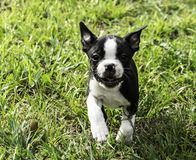 Boston expressif Terrier fonctionnant sur l'herbe photo stock