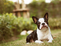 Boston femelle Terrier dans l'arrière-cour Image libre de droits