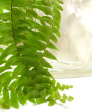 Boston fern. Beautiful fresh green Boston fern graces a glass block Royalty Free Stock Image