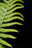 Boston Fern Abstract. Vertical abstract image of a Boston fern Stock Photography