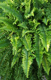 Boston Fern Leaves Fotografia de Stock