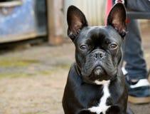 Boston Frenchie hund Fotografering för Bildbyråer