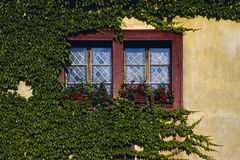 Boston ivy 1. Parthenocissus tricuspidata Stock Photography