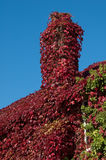 Boston Ivy Stock Images
