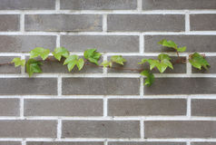 Boston ivy Royalty Free Stock Photo