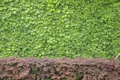 Boston ivy Royalty Free Stock Images