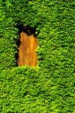 Boston ivy. Masonry house overgrown rambling plant Boston ivy Stock Photo
