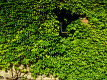 Free Boston Ivy Royalty Free Stock Photography - 8540157