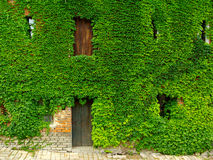 Boston ivy. Masonry house overgrown rambling plant Boston ivy Stock Photos
