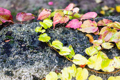 Boston ivy on black grunge wall Royalty Free Stock Images