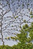 Boston ivy at  blue wall Stock Photos