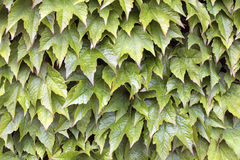 Boston Ivy Climbing Vines Background Stock Images