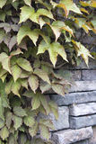 Boston Ivy Climbing Vines Stock Photos